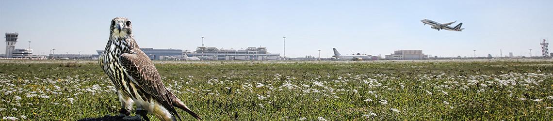 allontanamento_aeroporti_falcon_farm