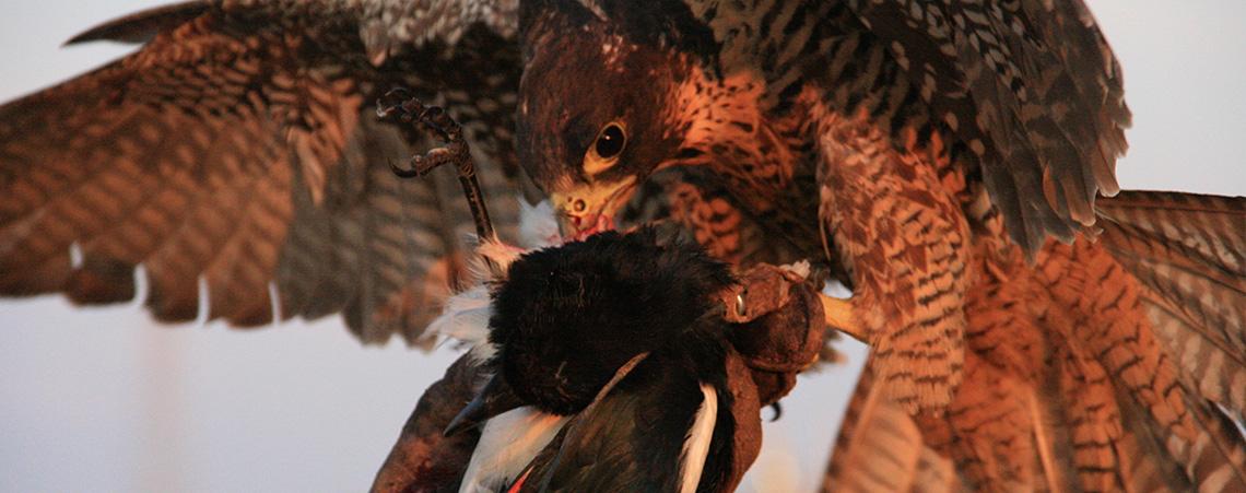 falconeria_2
