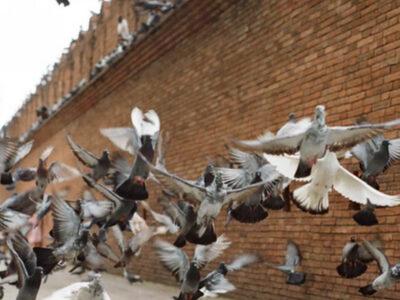 censimento_piccioni