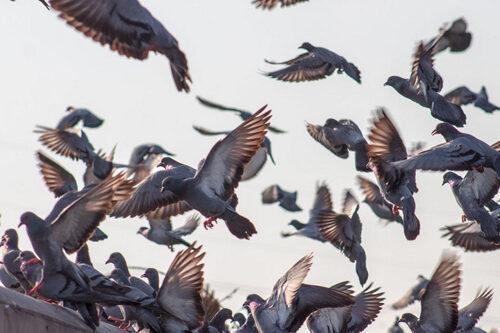 valutazione danni piccioni