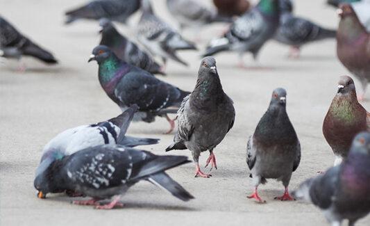 piccioni2